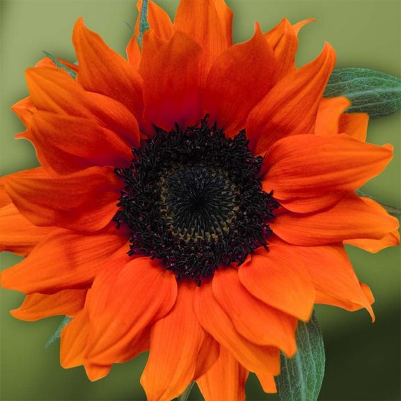 Narandzasta magija Sunflower_bright_orange_1_