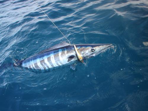 Wahoo recomendación de equipo SHIMANO Wahoo_fishing_panama