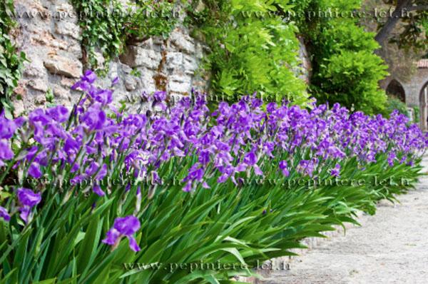 Bon Vendredi Iris_violet3-z