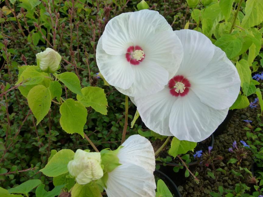 la fleur de Martin du 6 septembre trouvée par Martine - Page 2 00004816