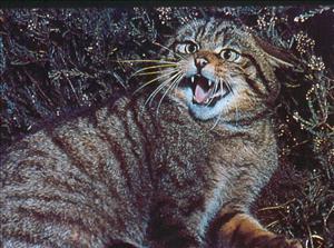 Texugo euroasiatico vs Gato bravo silvestre  Image_pt_verylargethumb