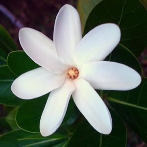 Regalame una flor.  Flowers_Tiare_Flower_Notes