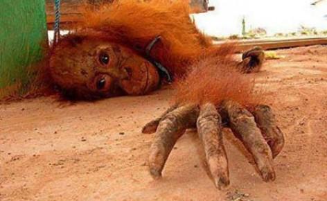 Aunque la mona se vista de seda... Orangutan