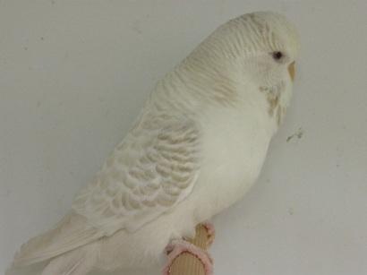 perruche albinos avec du marron sur les ailes AFORF01312016_2