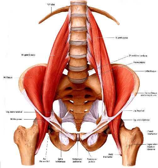 [En cours] Harley Quinn Psoas-iliaque-anatomie