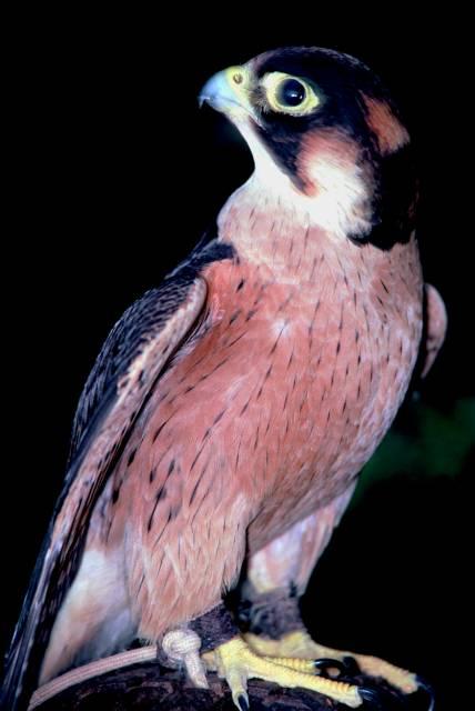Falconiformes. sub Falconidae - sub fam Falconinae - gênero Falco Taita%20Falcon.jpg-for-web-large-1222411886