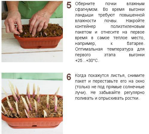 Выгонка луковичных растений YUTHysMBRdU