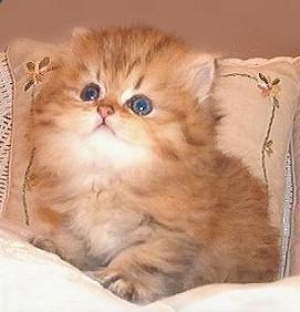 صور قطط جميلة PersianKitten