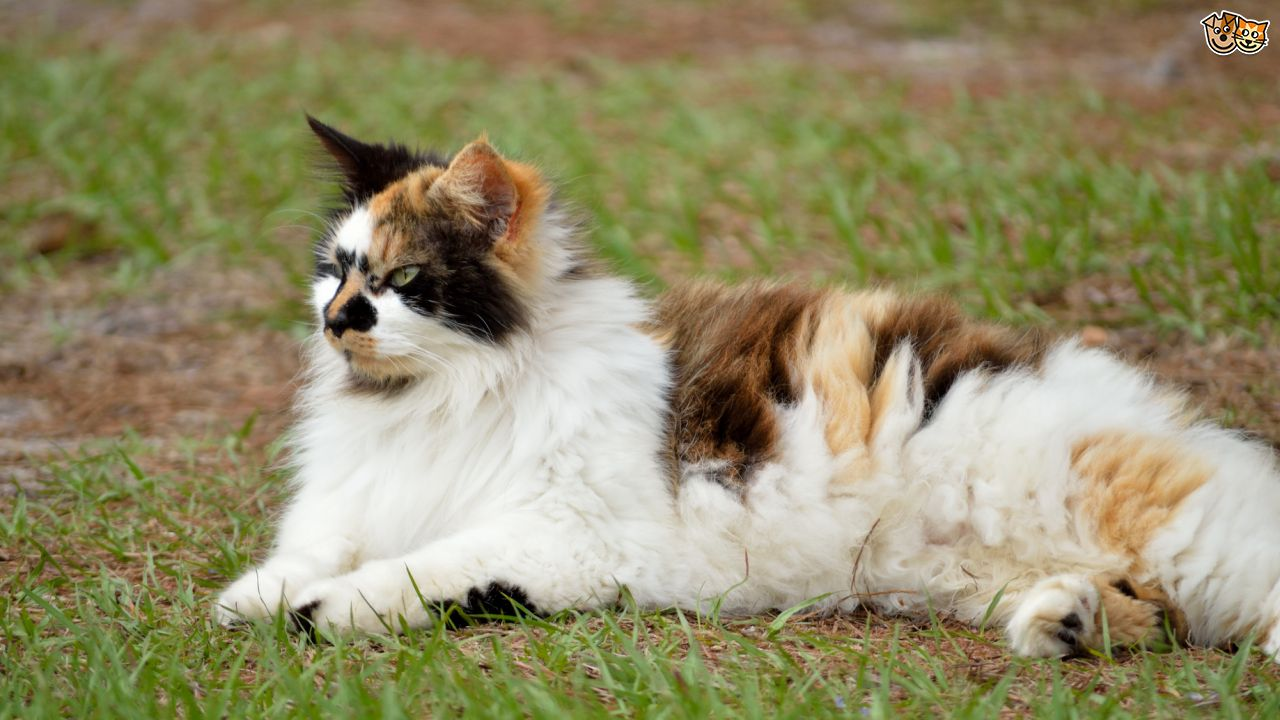 Mysticclan Sign - Ups  Seven-interesting-facts-about-tortoiseshell-and-calico-cats-5647318a13849