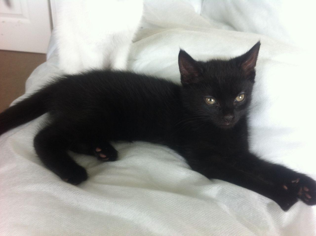 Bestiario de Personajes 9-week-old-female-black-kitten-for-sale-in-wigan-51f910c6a18ff