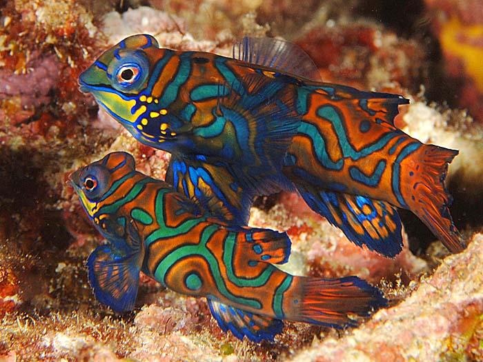 Čudesno lepe ribice - Page 11 Mandarinfish2