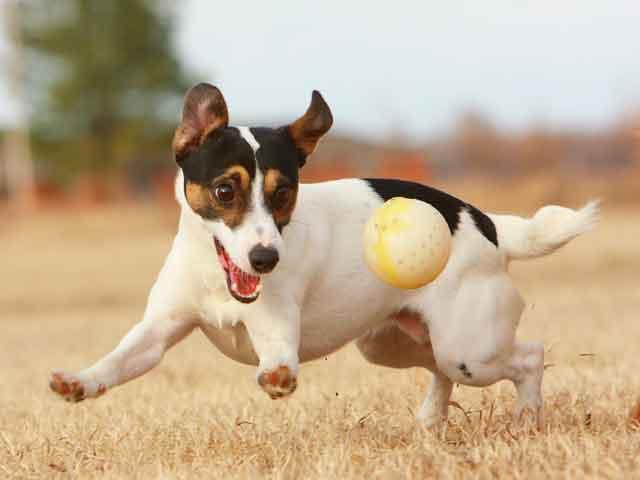 Jack russell terier Jack-russell-terrier