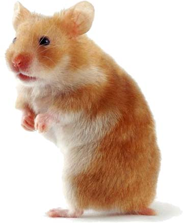 Hrčci - hrčak Hamster