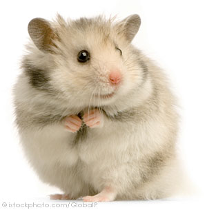 After a long hiding he comes back... Hamster_000002566309