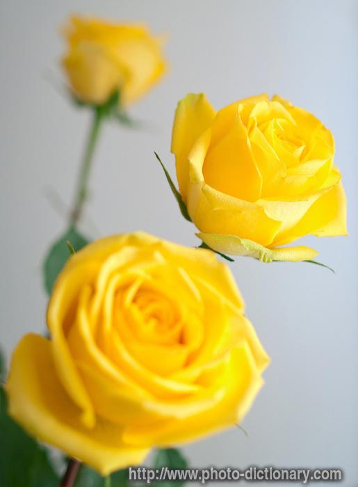 Lulet dhe kuptimi i ngjyrave te tyre  11564yellow_roses