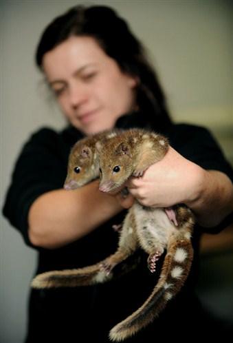 Et si le tigre de Tasmanie ne s'était jamais éteint ? Photo-Chat-marsupial-%C3%A0-queue-tachet%C3%A9e-2
