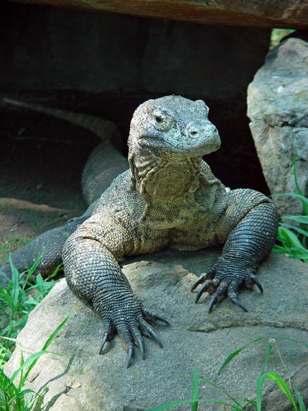 هل تعلم:موضوع مميز Komodo-dragon-1a