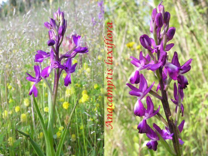 Anacamptis laxiflora ( Orchis à fleurs lâches ) M_101775976_0