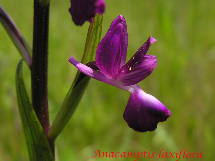 Anacamptis laxiflora ( Orchis à fleurs lâches ) M_101775978_0