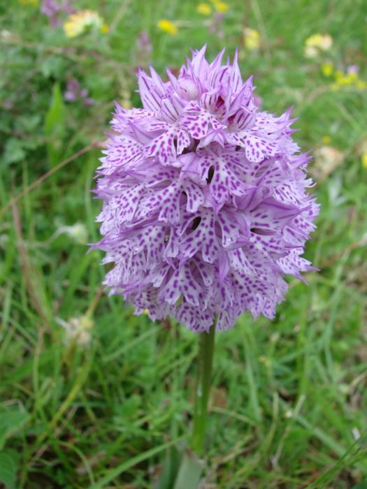 Neotinea tridentata ( Orchis tridenté ) M_102137586_0