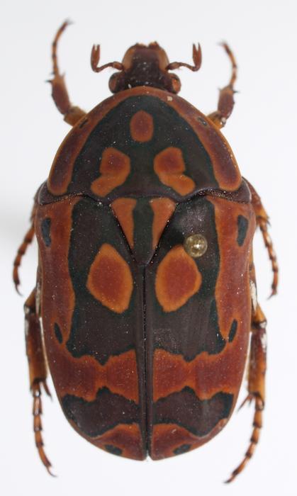(Pachnoda trimaculata) Devinette pachnoda M_146292309_0