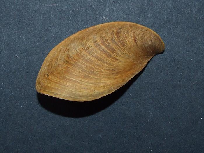 Pugilina morio - (Linnaeus, 1758) M_241398271_0