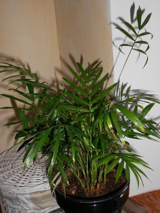 Deux palmiers sans nom... M_258637249_0