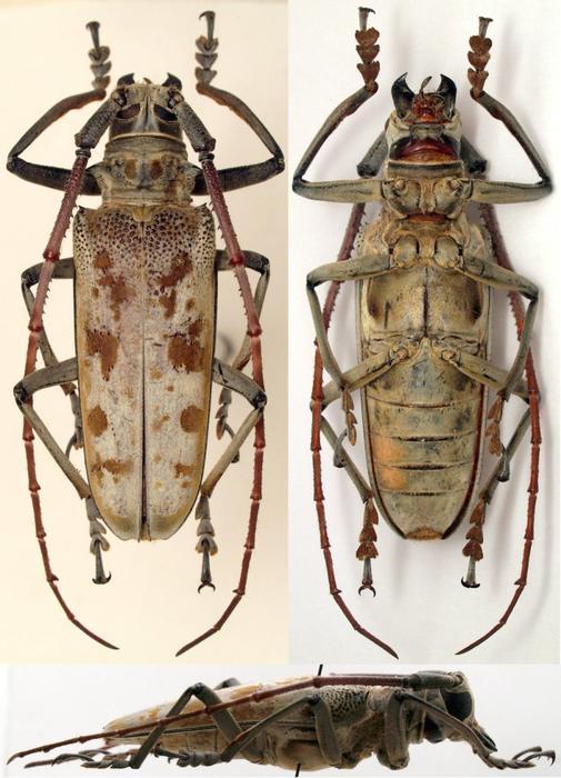 [Batocera tigris] Cerambycidae Java M_271581319_0