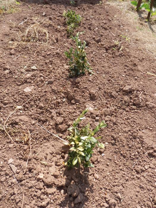Protéger ses jeunes plants avec des fougères M_296561939_0