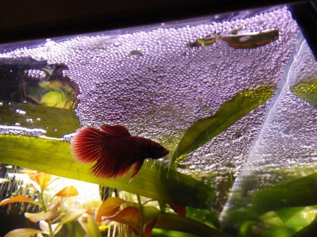 [ PHOTOS ] Les nids de bulles de nos poissons - Page 4 M_333081625_0