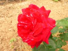 Мои любимые цветы- розы - Страница 2 473pjp-557