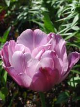 Тюльпаны 46rzfk-q0d