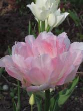 Тюльпаны 46rzob-zyp