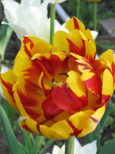 Тюльпаны 46rzpb-w01
