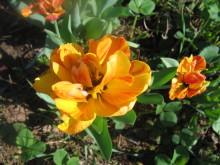 Тюльпаны 4ivt73-d1f