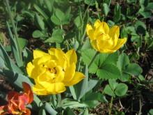 Тюльпаны 4ivt7w-yho