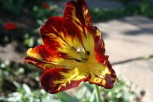Тюльпаны 4ivu7n-v6q