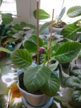 Размножение глоксиний семенами - Страница 21 58922o-aag