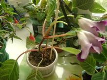 Размножение глоксиний семенами - Страница 21 5892hf-zad