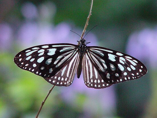 Leptiri Blue-tiger-butterfly