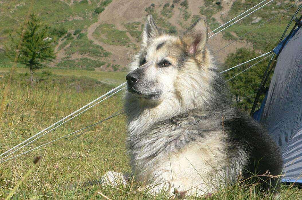 come back home (lily & abel)  A563n1-jerry-berger-allemand-croise-malamute-de-l-alaska