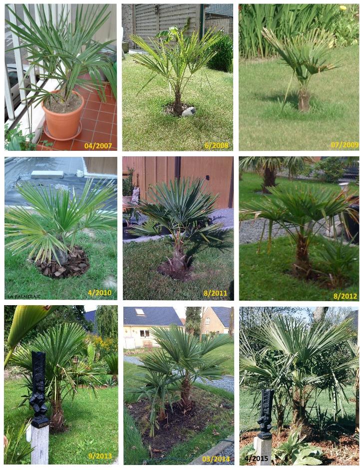 Croissance du Trachycarpus... (sur 9 ans) Trachycarpus_fortunei_groei_v1