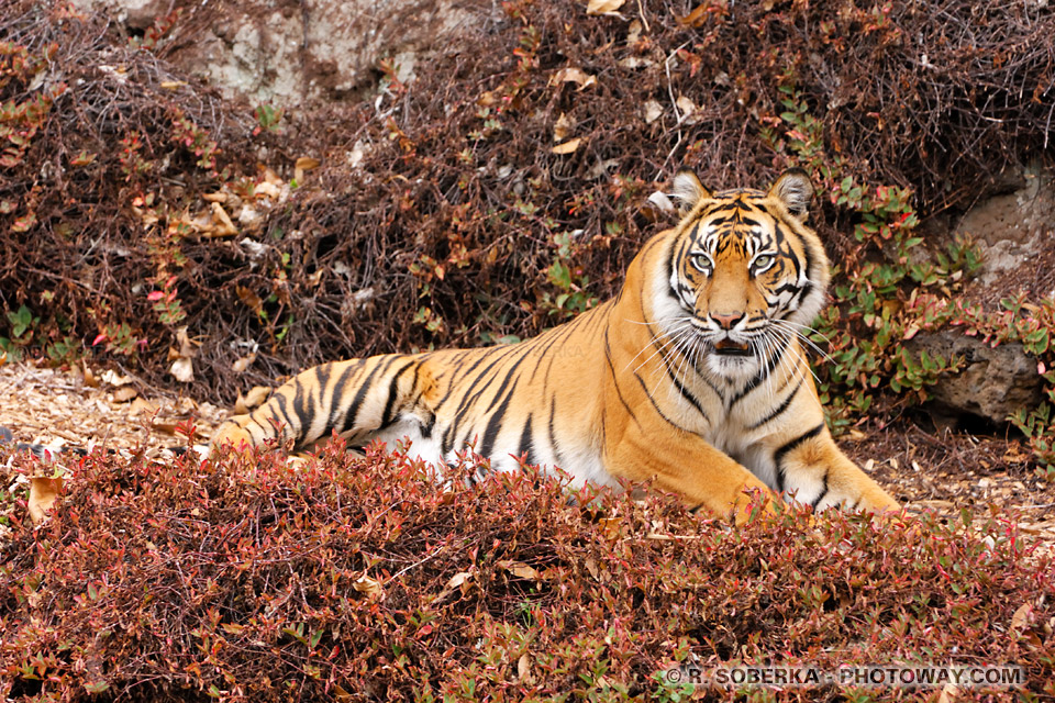Les tigres de Bengale ne sont plus que 1400 individus ! NZEL06_138-tigre