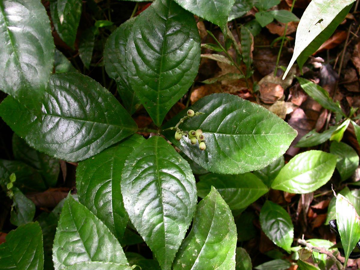 VƯỜN CÂY HOA ĐV I - Page 2 ChloranthusErectus