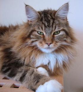Les nanimaux que vous aimeriez avoir... ? Maine-Coon-cat-magnus-handsome