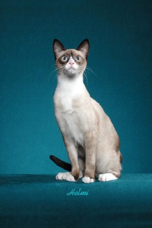 Really Cute Cats Snowshoe-bottom