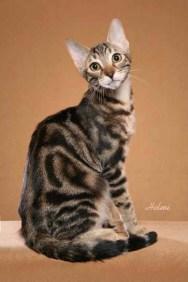 Sokokės katės  Sokoke-22