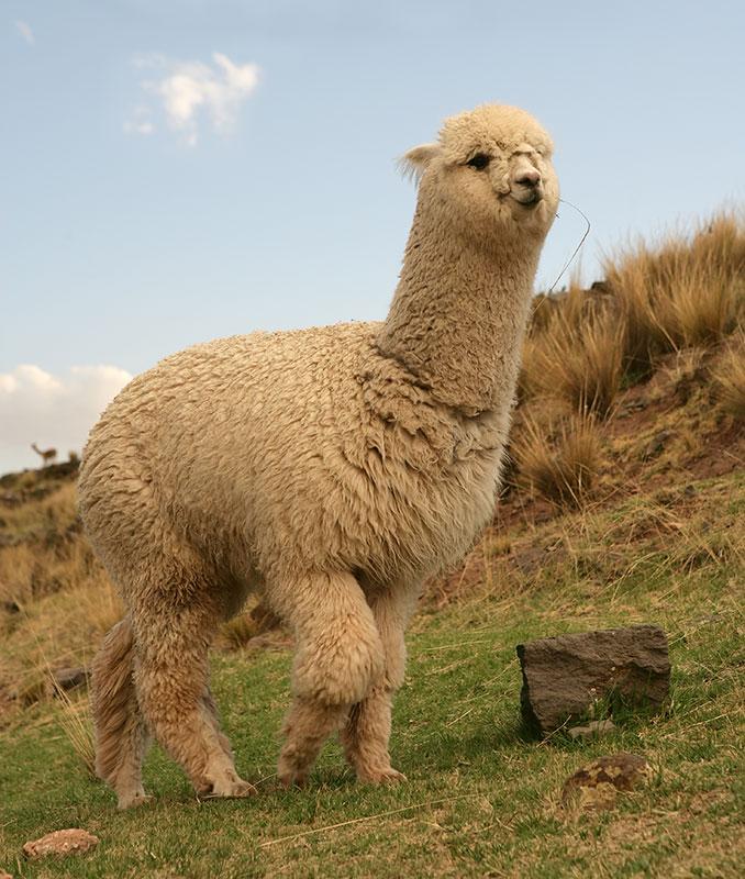 مخلوقــــات غريبـــــة ......سبحاااااان الله Alpaca