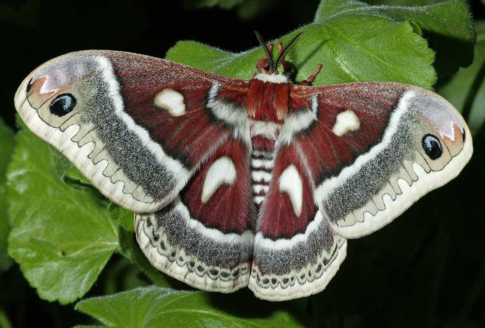 صور حشرات Hyalophora