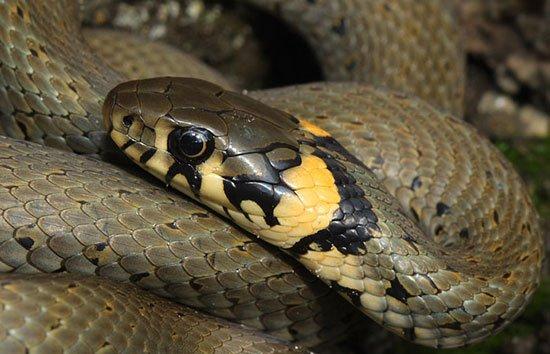 Магия змей. Змеи в магии.  Natrix-natrix-1